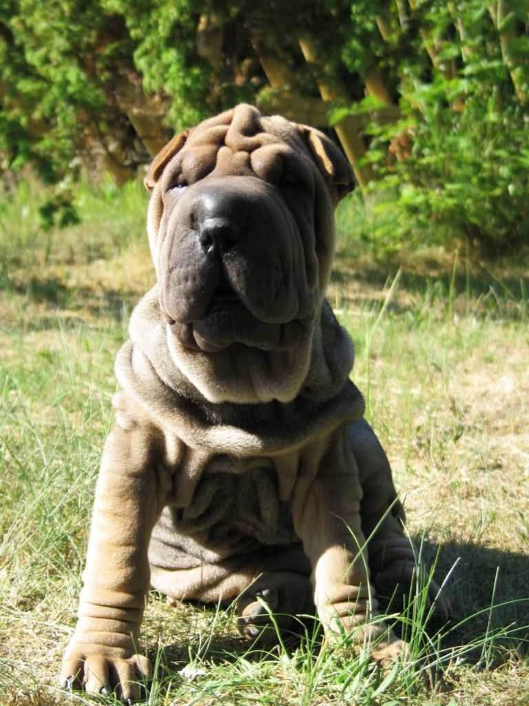 Shar-Peis look sweet, but they're also stubborn and can get aggressive